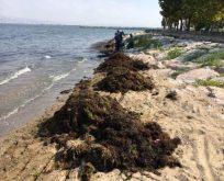 Günlük ortalama 53 ton yosun