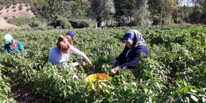 Çiftçilere yerli tohum