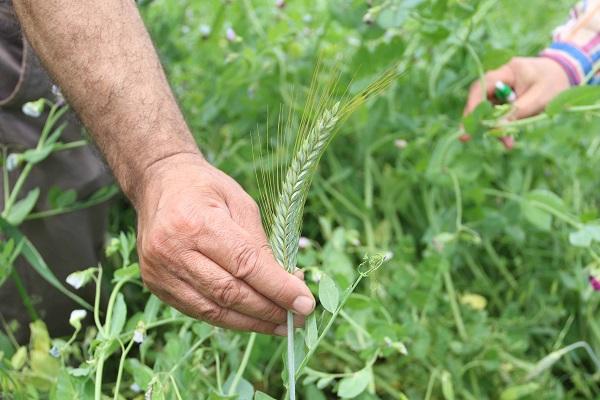 2700 çiftçiye tohum desteği