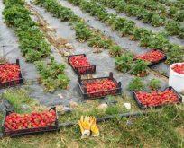 Kivi Ve Çilek Bahçeleri Kontrol Ediliyor