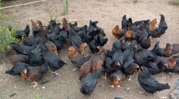 30 çiftçiye 5 bin gezen tavuk