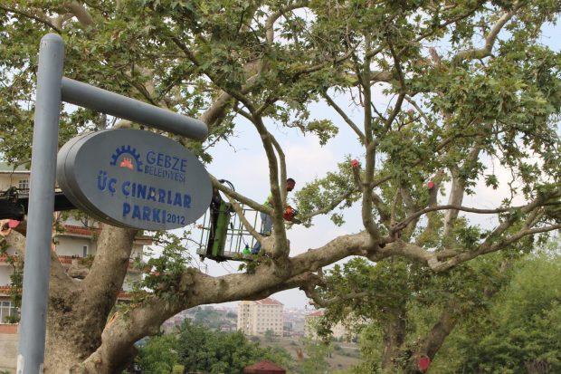 400 yaşındaki çınar ağaçları bakıma alındı