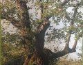 Kocaeli'nin En Yaşlı Anıt Kestane Ağacı Tanıtım Etkinliği