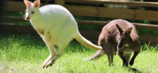 Valabi kangurularının son durağı Ormanya