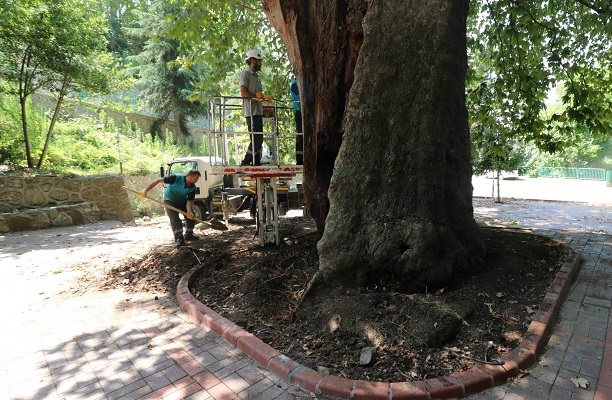 Çınar ağacına tedavi ve bakım