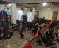 Çiftçilere yumurta verimi yüksek tavuk