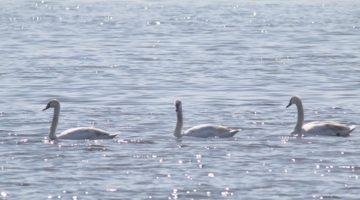 Kuğular İzmit Körfezi'nde