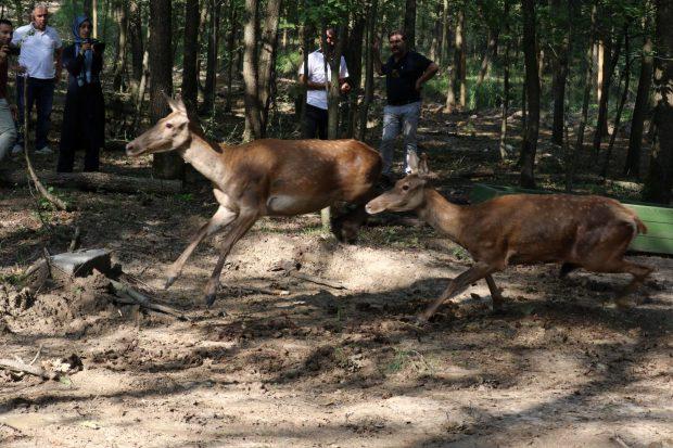 Doğal Yaşam Parkına 5 kızıl geyik